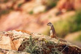 Atlashörnchen (Fuerteventura)